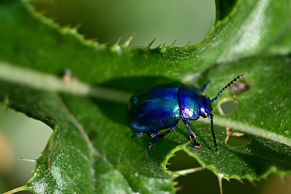 Beetle, Leaf, Insect, Summer, Blue, Garden, Close Up