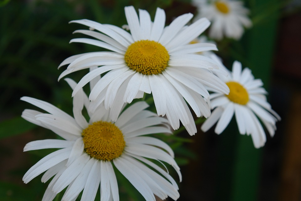 Flower, Daisy, Close-up, White, Summer, Nature