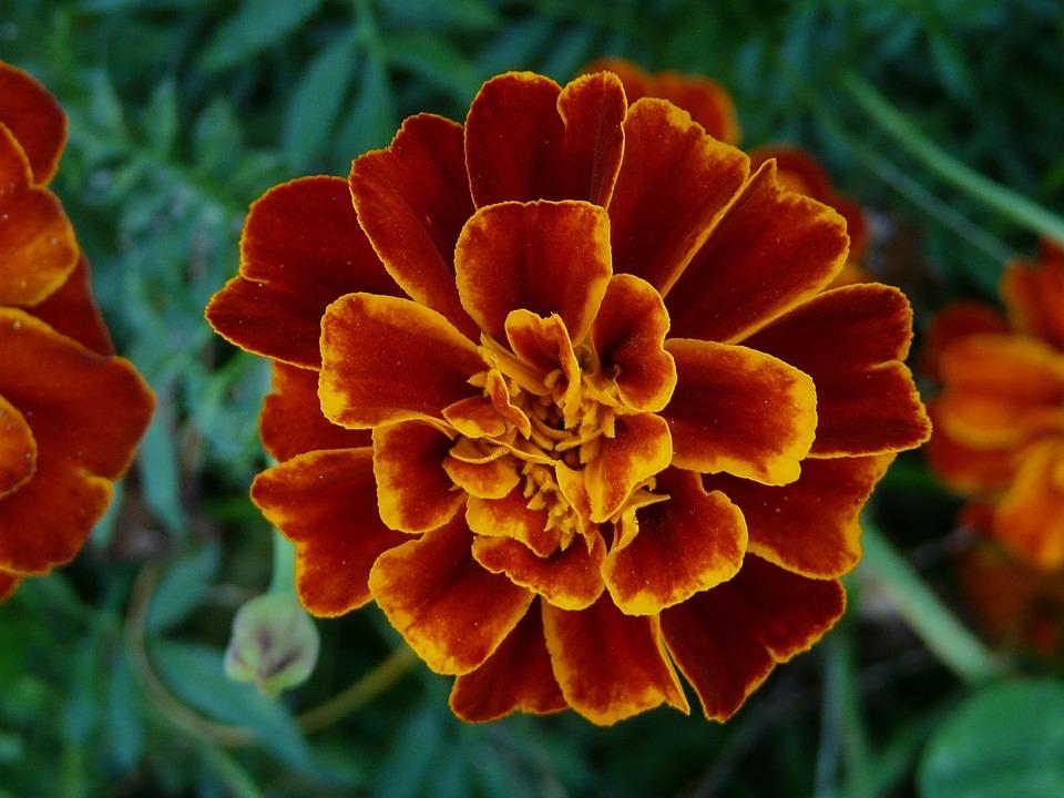 Flower, Orange, Summer, Color, Rusty, Brown, Afrikaner