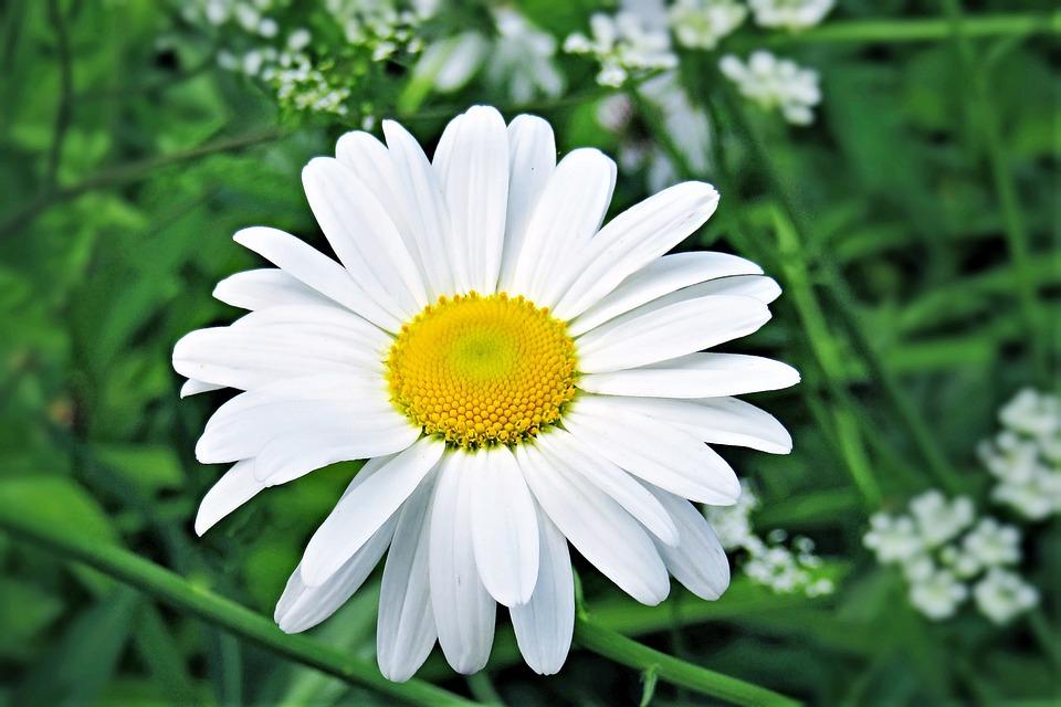 Flower, Marguerite, Shrub, Composites, Garden, Summer