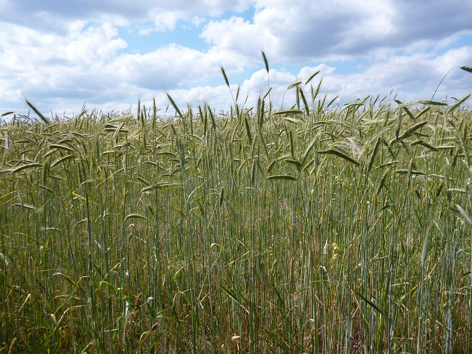 Cornfield, Summer, Plant