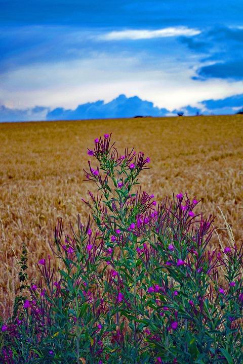 Cornfield, Summer, Flower, Cornflower, Cereals, Nature