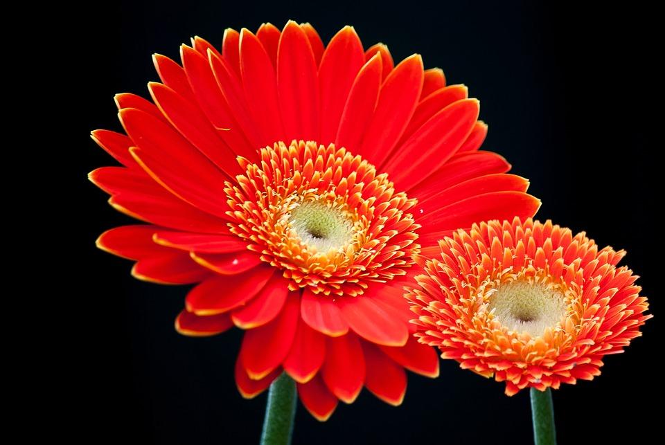 Gerbera, Flower, Summer, For You, Cut Flowers