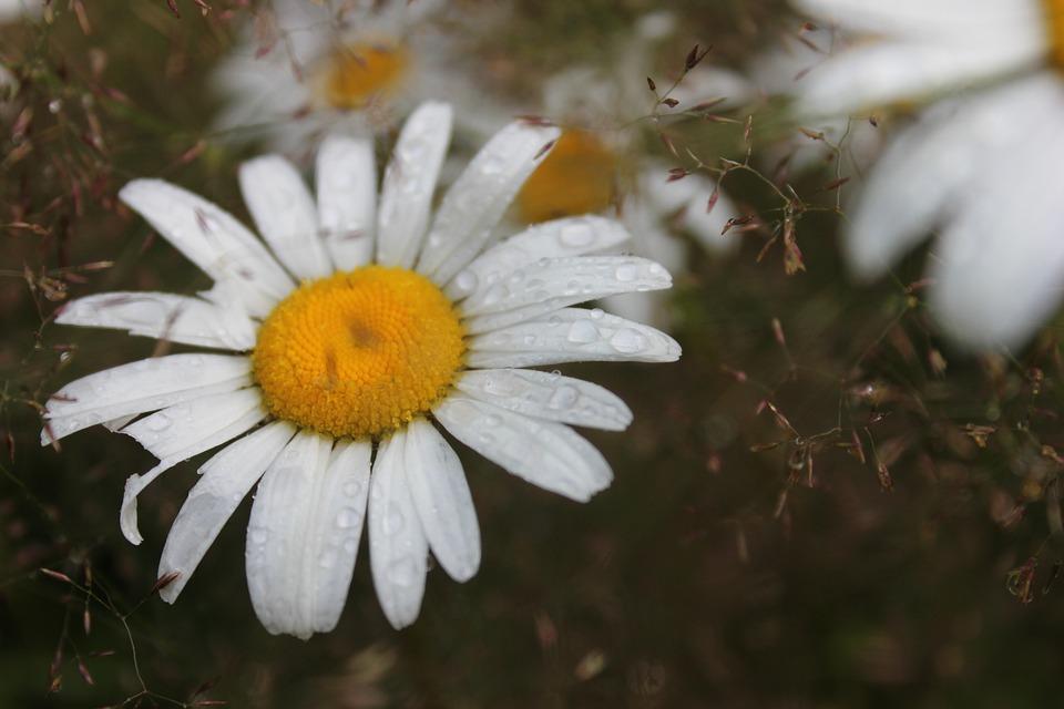 Flower, Summer, Daisy