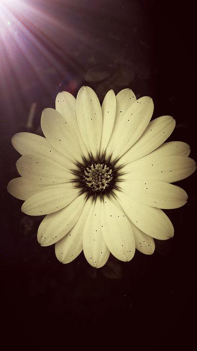 Daisy, Spring, Summer, Garden, Filter