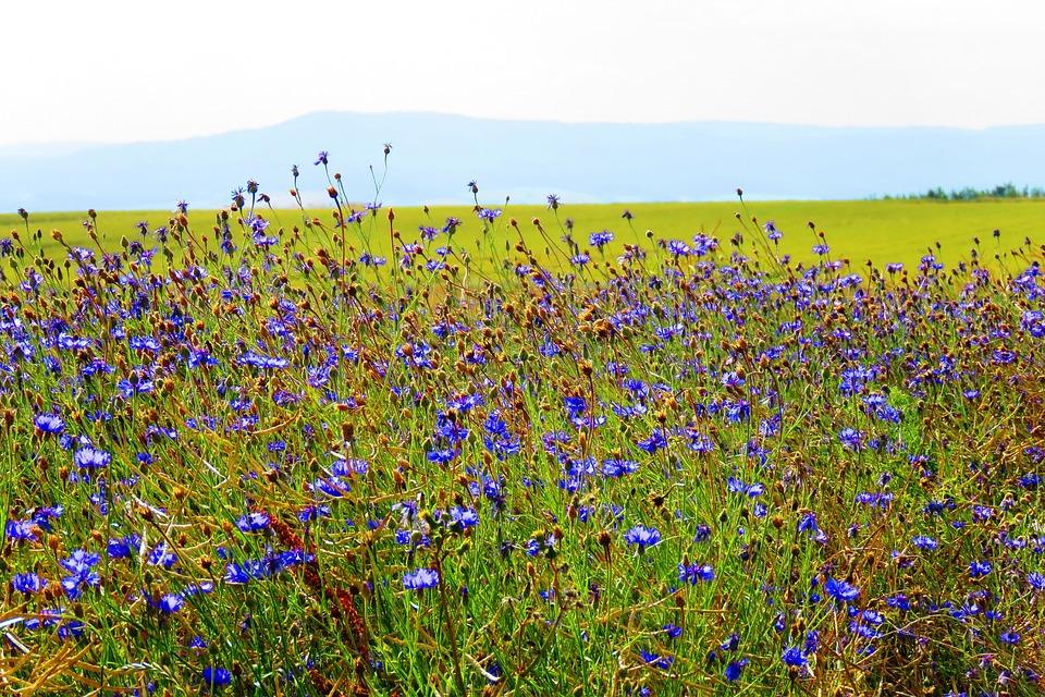Cornflower, Blue, Summer, Field Flowers, Cornfield