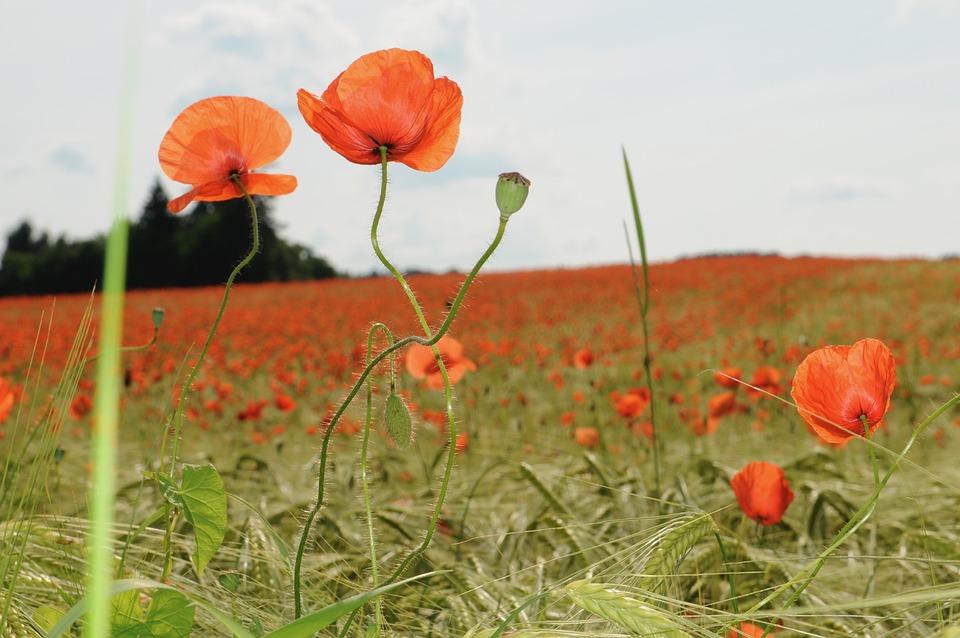 Poppy, Field, Klatschmohn, Flower, Summer, Poppy Flower