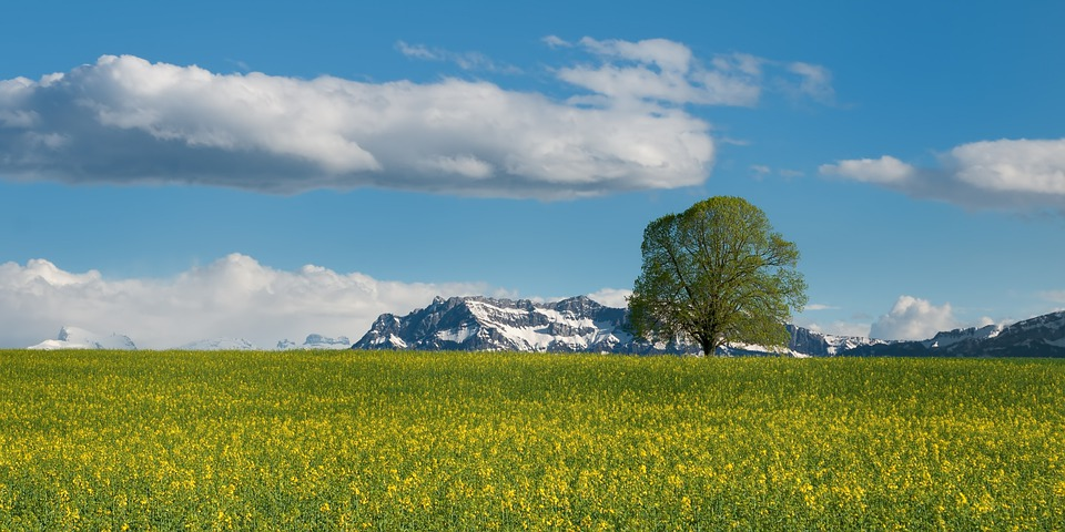 Tree, Field, Oilseed Rape, Summer, Alpine, Switzerland