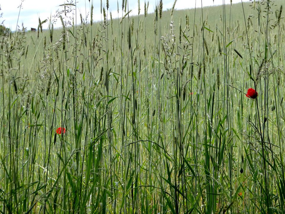Cereals, Field, Summer, Green, Fields, Poppies