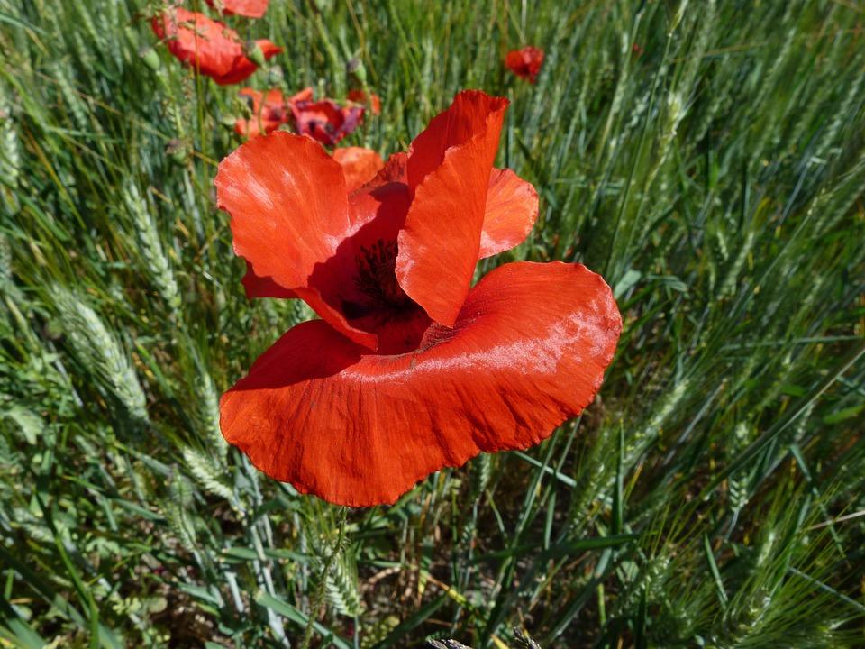 Poppy, Flowers, Nature, Macro, Red, Summer, Fields