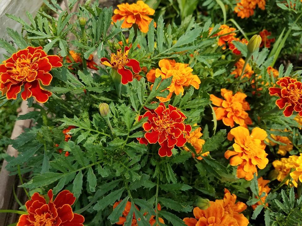 Free photo Summer Flora Flower Nature Garden Marigolds - Max Pixel