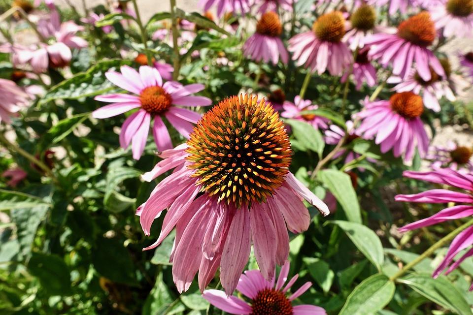 Petals, Flower, Garden, Flora, Nature, Summer, Plant