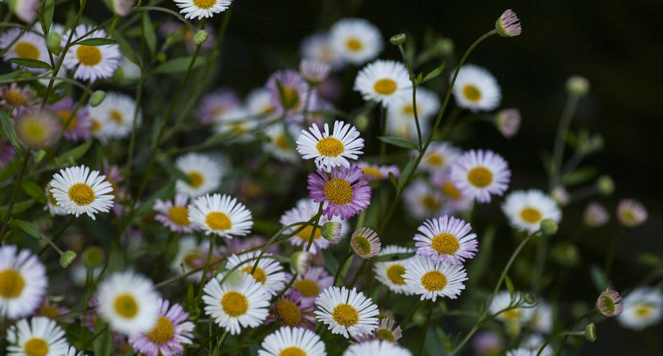 Daisies, Flowers, Flora, Floral, Spring, Summer, Nature