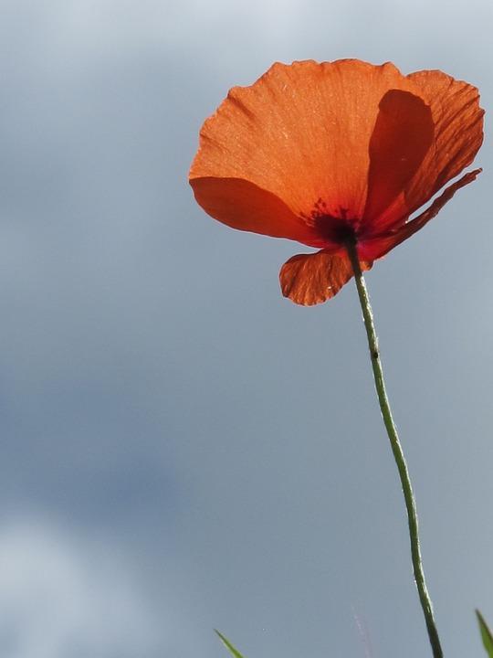 Poppy, Flower, Summer, Red, Nature, Floral, Wildflower