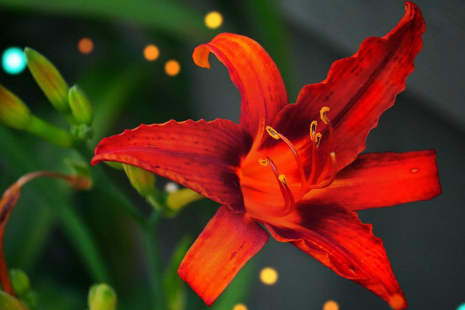 Red, Lily, Flower, Floral, Blossom, Summer, Natural
