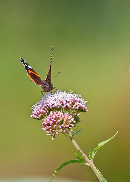 Butterfly, Flower, Nature, Insect, Summer, Animal