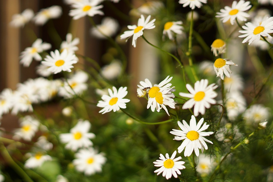Chamomile, Flowers, Bloom, Flora, Summer, Flower