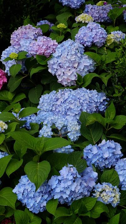 Hydrangea, Summer, Flower, Blue, Summer Endless
