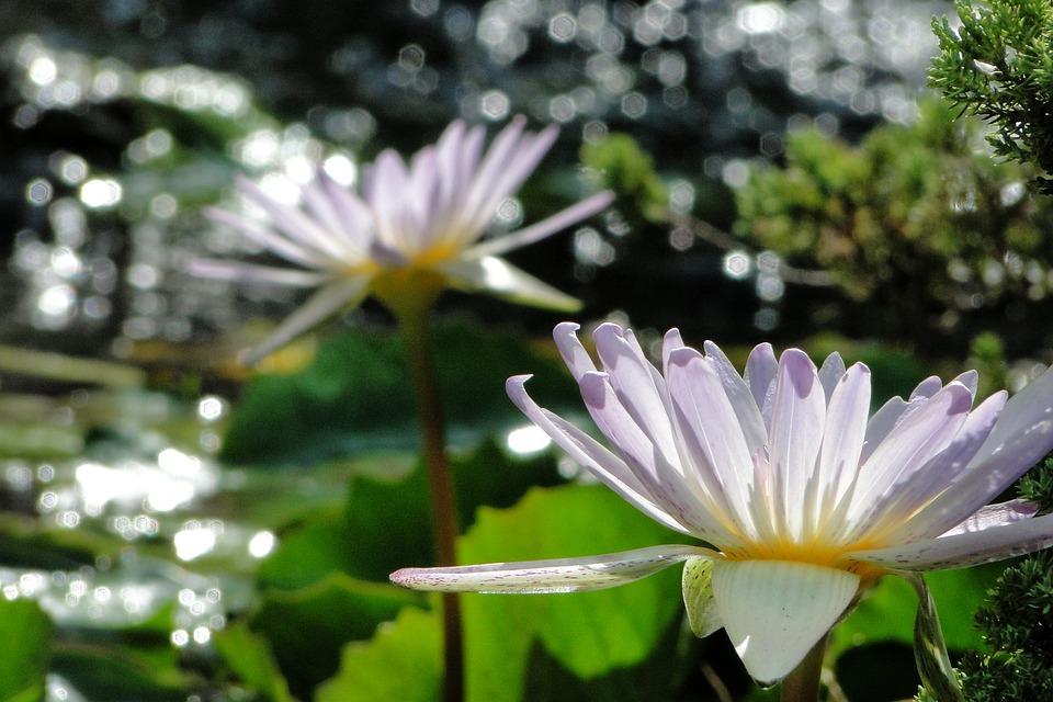 Nymphaea Alba, Flower, 綻, Summer, Colorful Sun