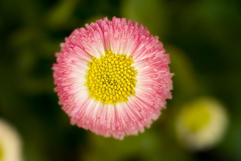 Daisy, Flower, Plant, Summer, Petal, Bokeh, Close