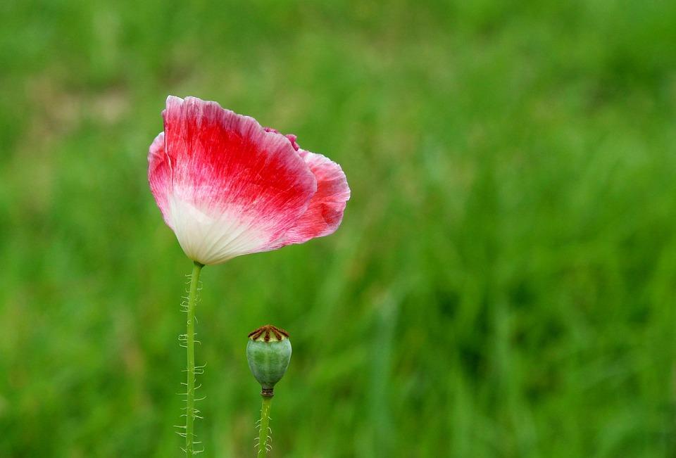 Poppy, Flower, Flower Field, Pink, Summer, Figure