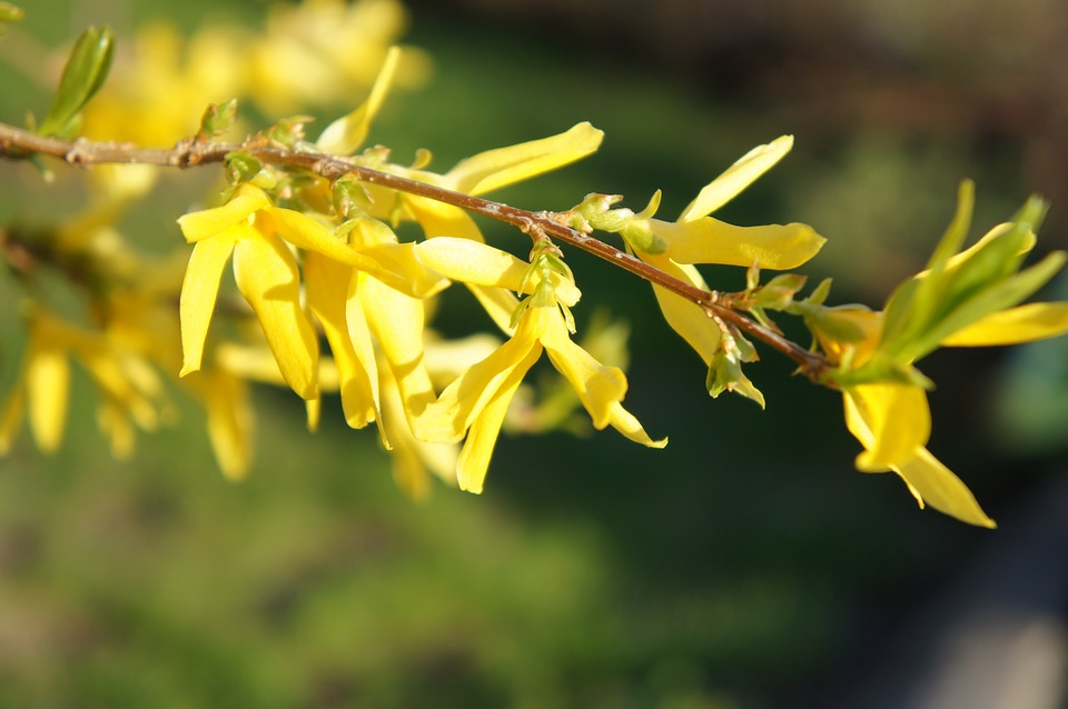 Forsythia, Flower, Nature, Flora, Summer