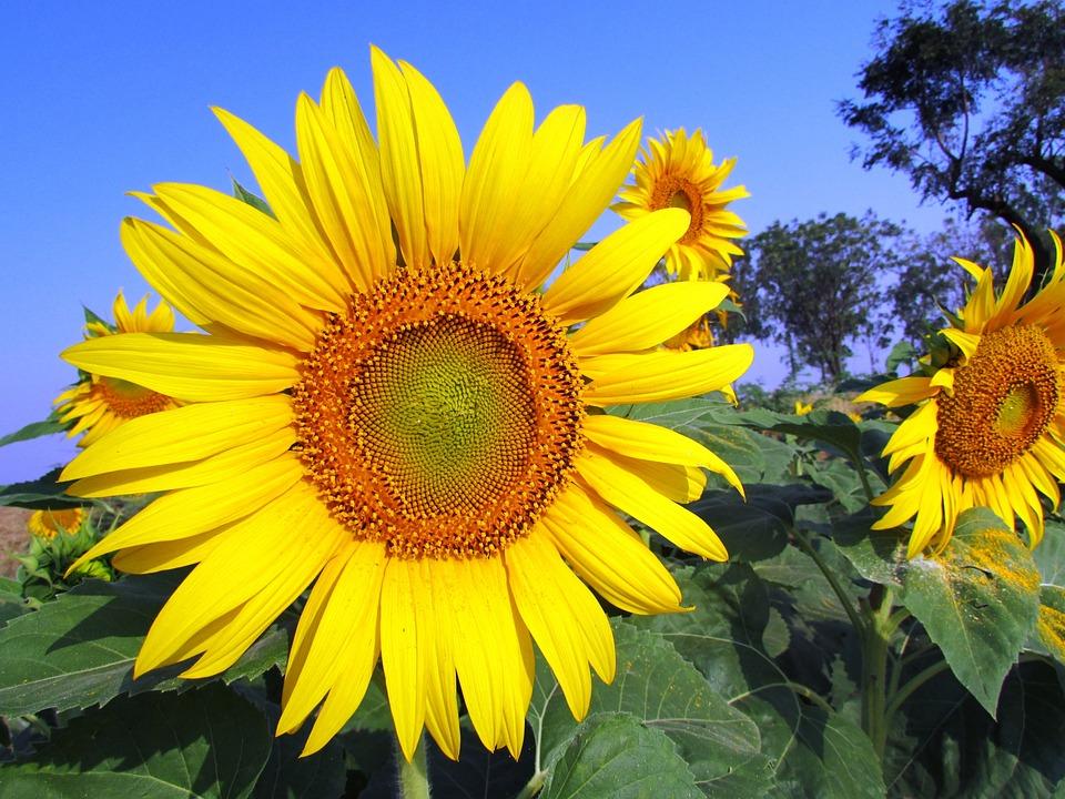 Sunflower, Yellow, Flower, Summer, Floral, Bright