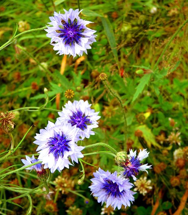 Cornflower, Flower, Flowers, Flora, Summer, Blue, Field