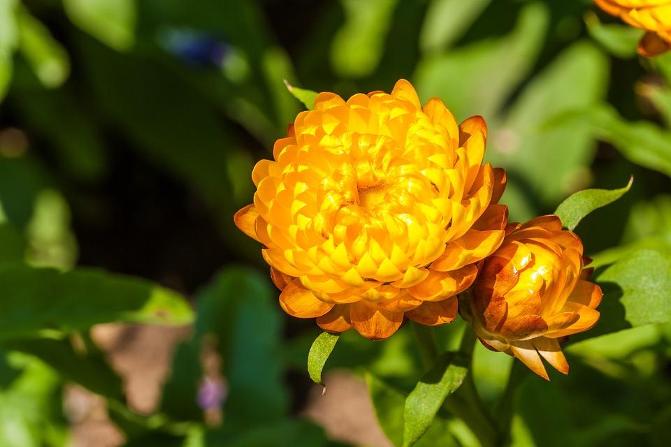 Italicum, Yellow, Nature, Summer, Bloom, Flower, Flora