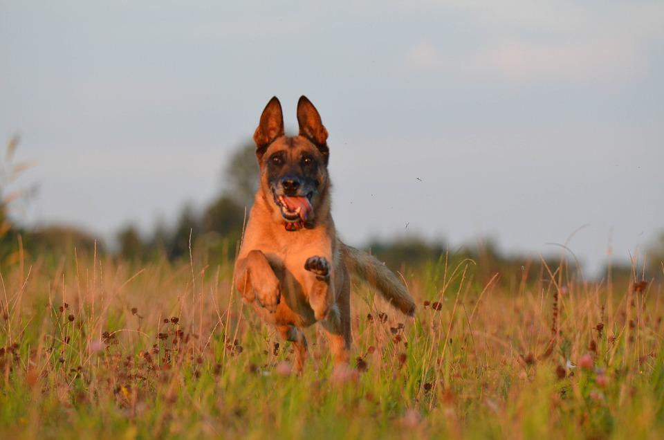 Malinois, Flower Meadow, Belgian Shepherd Dog, Summer