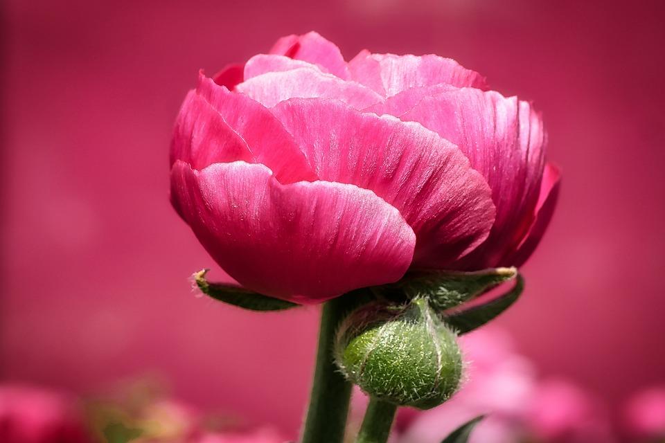 Nature, Flower, Plant, Summer, Garden, Peony, Close Up