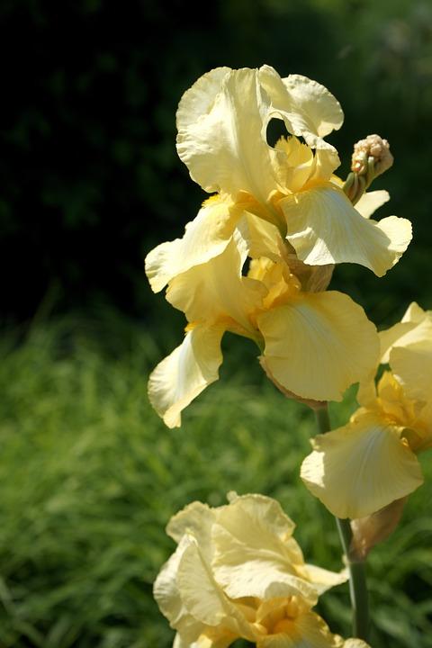 Yellow Iris, Summer Flower, Perennials Flowering
