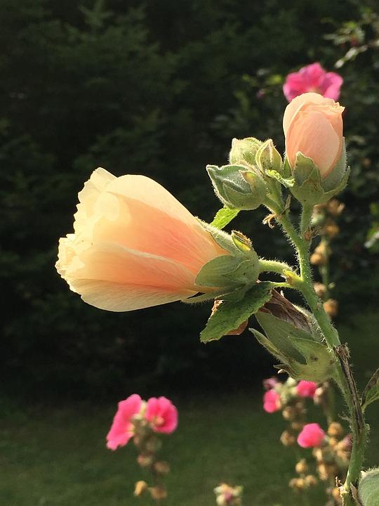 Hollyhocks, Blossom, Flower, Pink, Garden, Summer