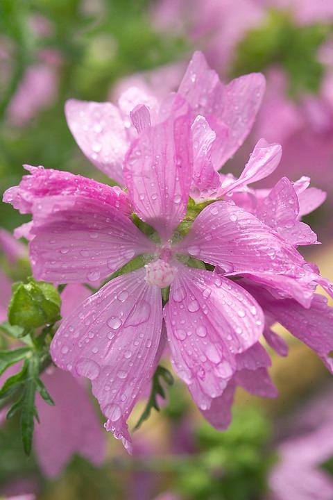 Mallow, Pink Mallow, Pink Flower, Summer Flower, Rain