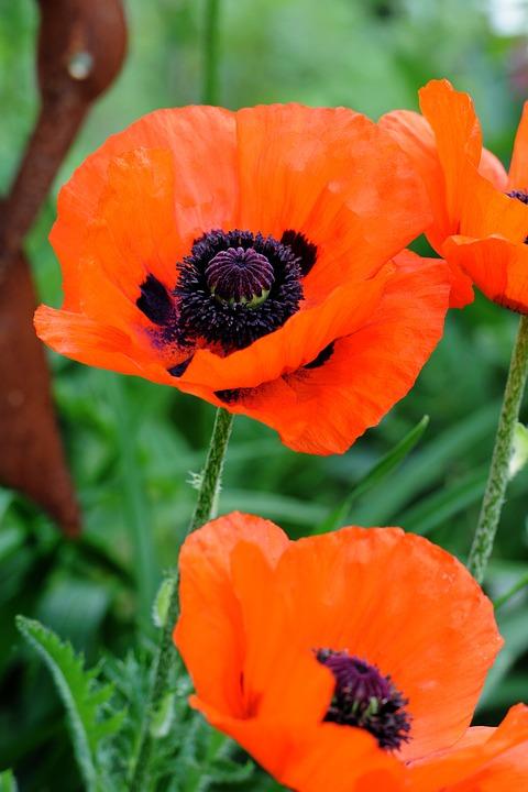 Poppy, Flower, Close, Nature, Garden, Summer