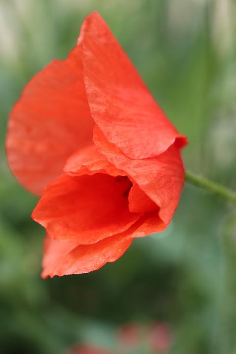 Summer, Poppy, Red, Flower