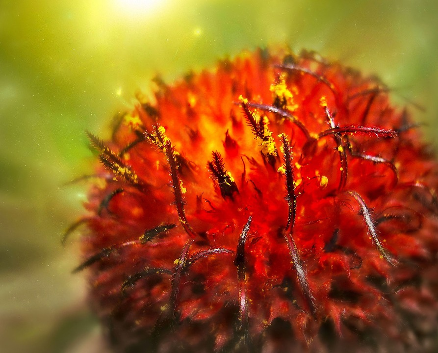 Summer, Flower, Red, Stamens Pistils, Macro