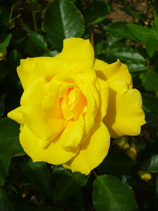 Rose, Lemon Yellow, Summer Flower, Nature