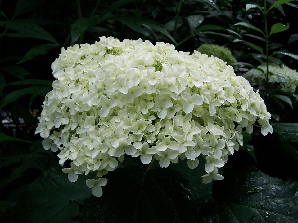 White Hydrangea, Flower Garden, Summer Flower