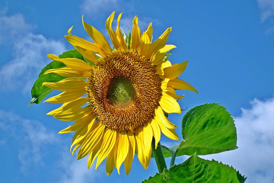 Flower, Sunflower, Yellow, Summer, Nature, Sunny