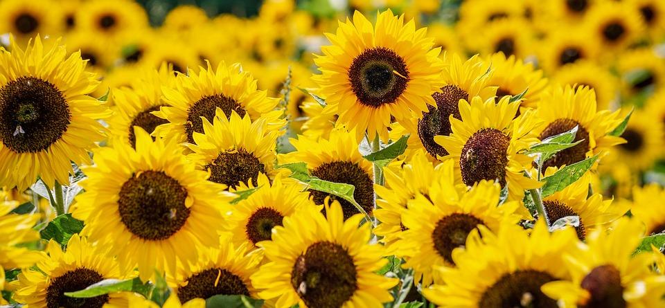 Sunflower, Flowers, Yellow, Summer, Blossom, Bloom