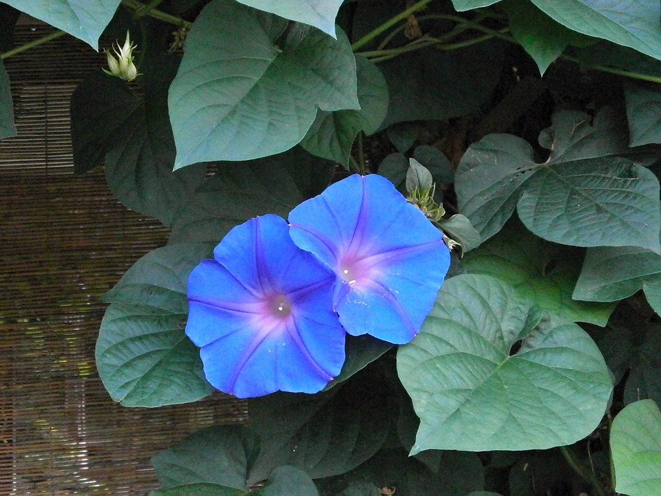 Morning Glory, Blue Flowers, Summer Flowers