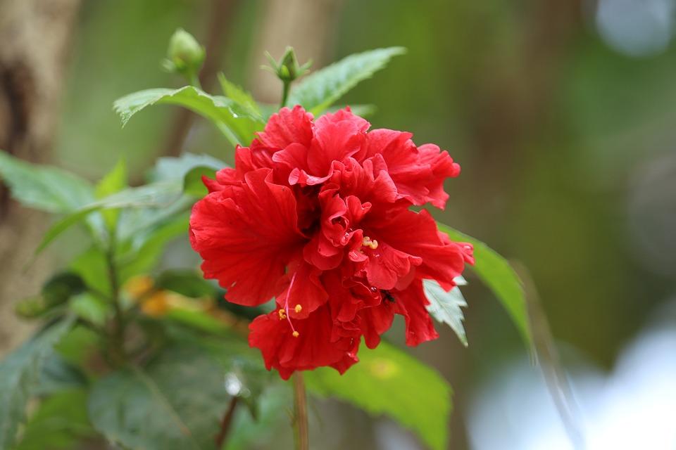 Hibicus, Kerala, Flowers, Summer, Plant, Garden, Nature