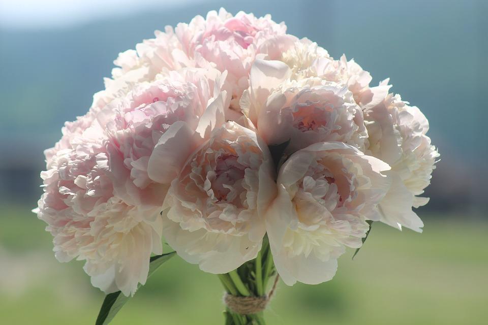 Peonies, Summer, Light, Tenderness, Pink, Flowers