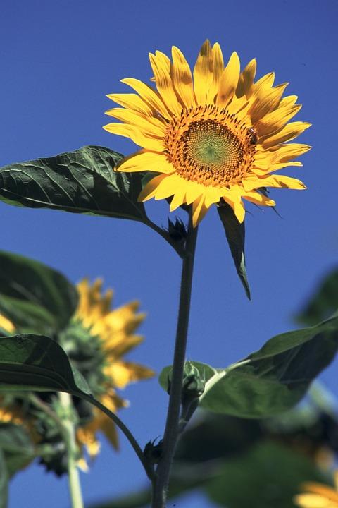 Sunflower, Summer Flowers, Sun Flowers