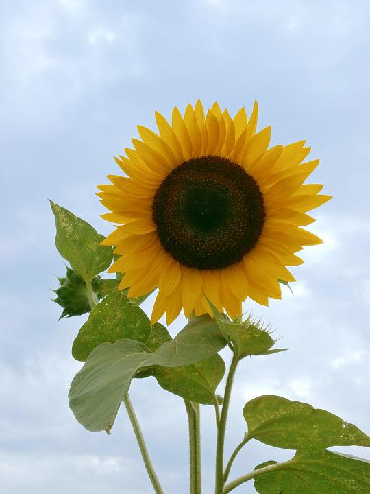 Sunflower, Summer Flowers, Yellow Flowers