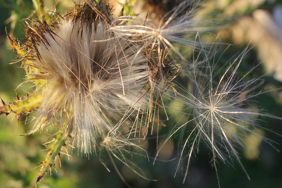 Thistle, Down, Plant, Bloom, Fluff, Summer, Seeds