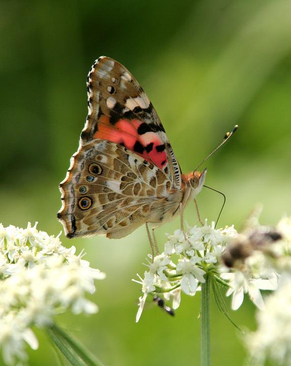 Butterfly, Flower, Summer, Forage, Insect, Garden