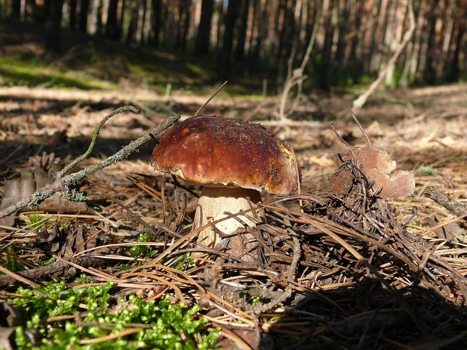 Mushroom, Boletus, Summer, Forest