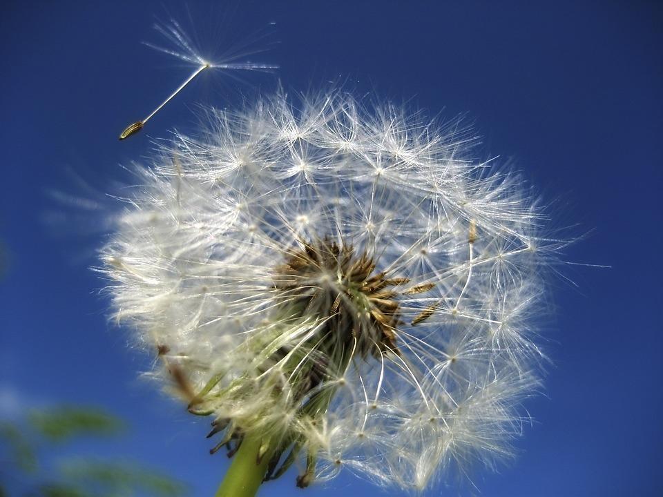 Dandelion, Flower, Summer, Garden, Meadow, Flowers